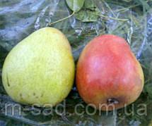 Груша Лесная Красавица(летний,самоплодный)2хлетка