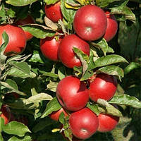 Саженцы яблони Айдаред (однолетний)