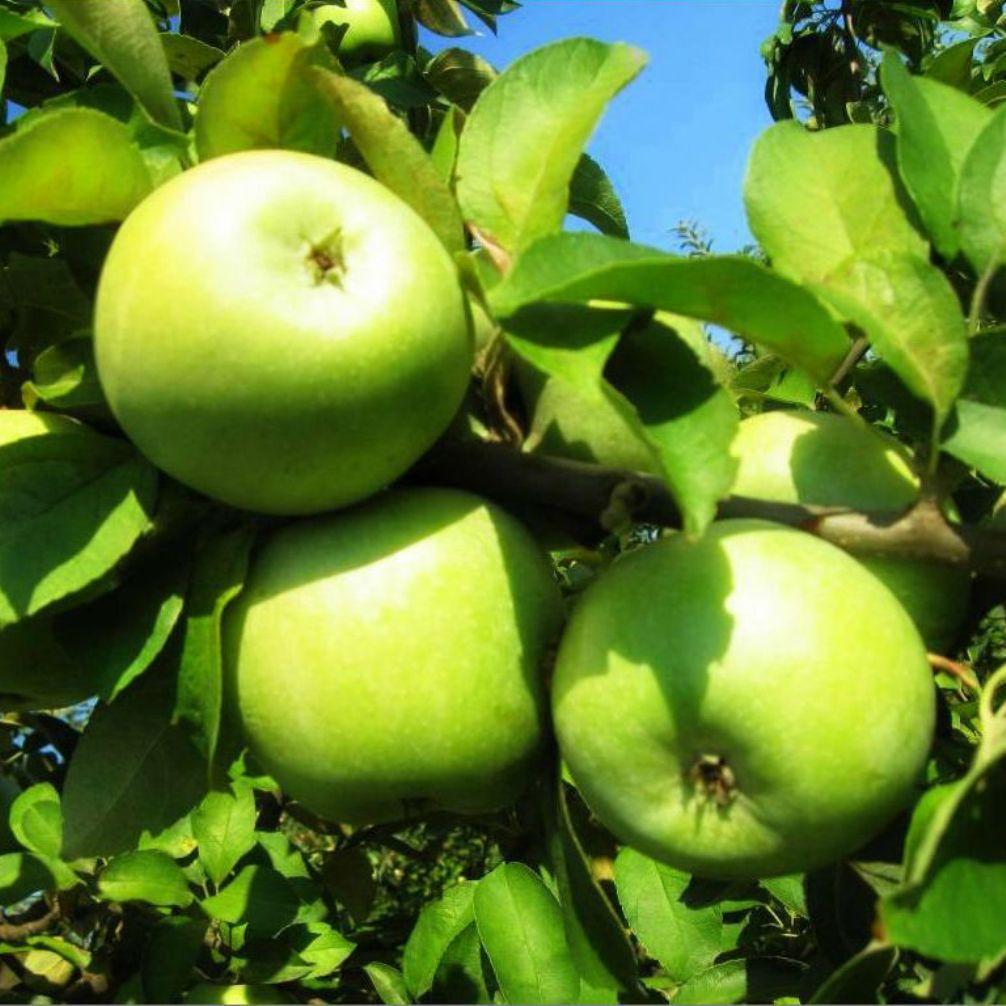 Саженцы яблони Симиренко (двухлетний)