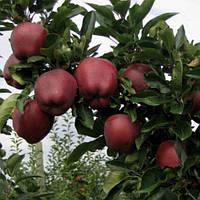 Саженцы яблони Ред Чиф (двухлетний)