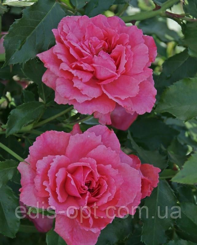 Троянда англійська в'юнка Sweet Kiss (Солодкий поцілунок) клас АА