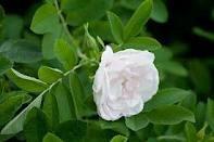 Роза плетистая Мон Блан (Mont Blanc) класс АА