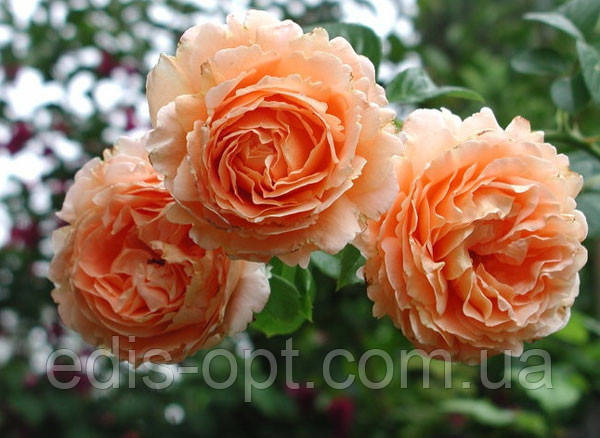 Роза в'юнка Полька (Polka) клас АА