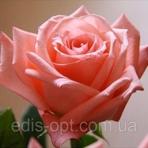 Роза ч/г Дольче Вита (Dolce Vita) класс А