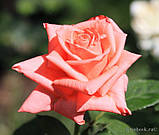 Роза ч/г Дольче Вита (Dolce Vita) класс А, фото 2