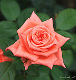 Роза ч/г Дольче Вита (Dolce Vita) класс А, фото 3