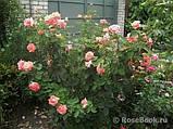 Роза ч/г Дольче Вита (Dolce Vita) класс А, фото 4