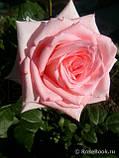 Роза ч/г Дольче Вита (Dolce Vita) класс А, фото 5