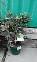 Оливковое дерево на решетке