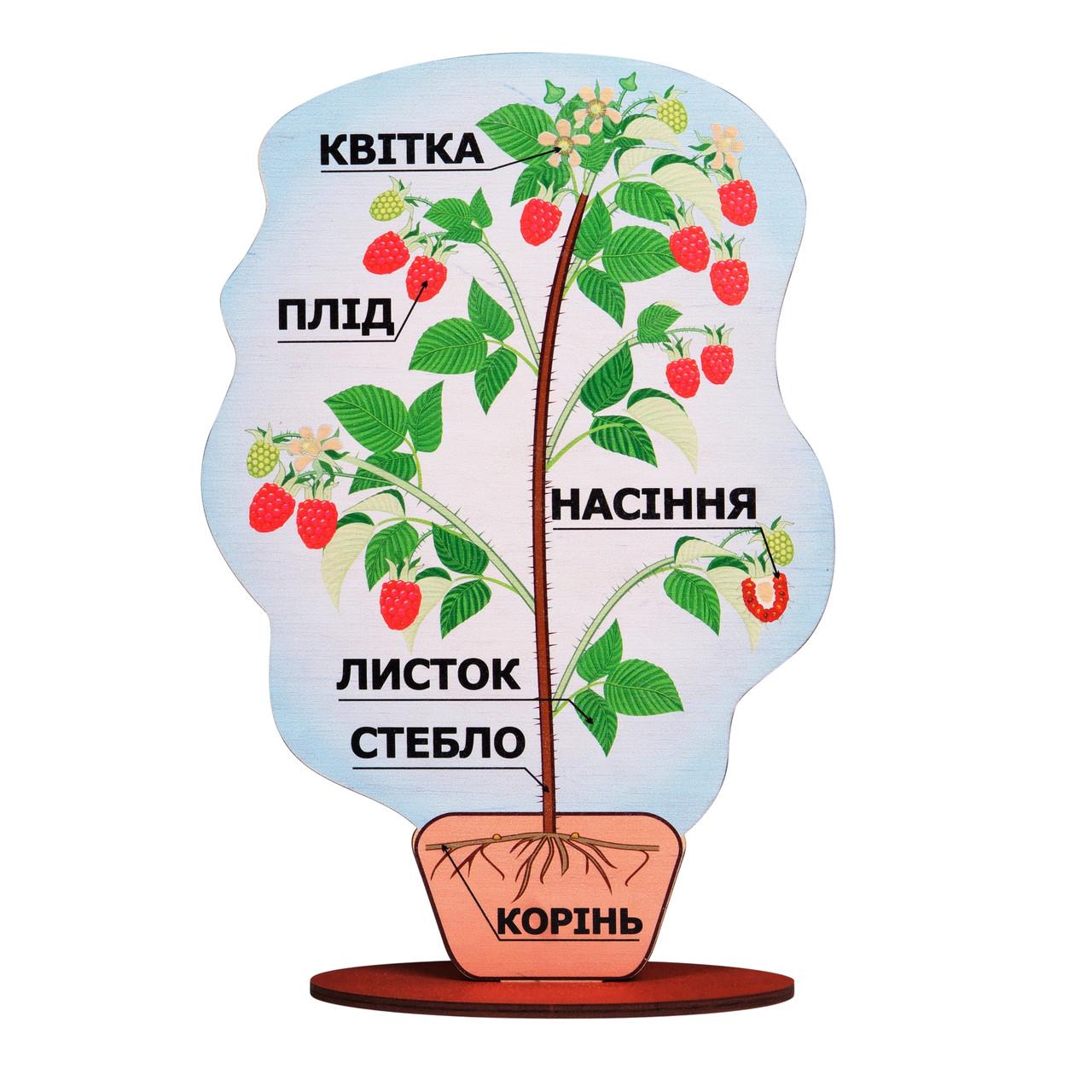 Модель будови рослини (на підставці), Komarovtoys