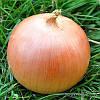 Семена лука Стартер F1 250 000 сем. Никерсон-Цваан