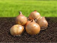 Семена лука Скапино F1 250 000 сем. Никерсон-Цваан