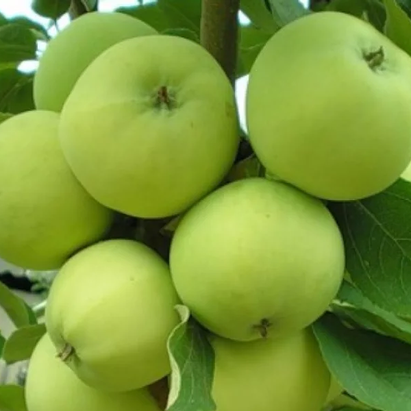 Саженцы яблони Белый Налив (однолетний)