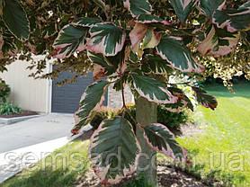 Бук Триколор \ Fagus sylvatica Tricolor ( саженцы 30-50см ЗКС), фото 2