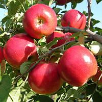 Саженцы яблони Моди (однолетний)