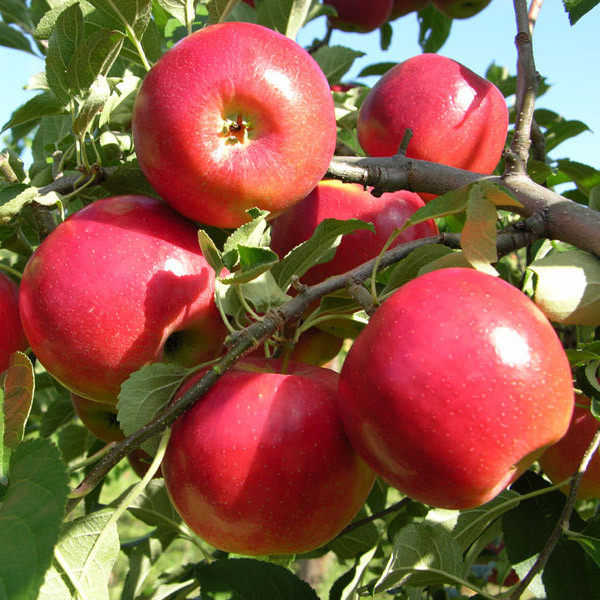 Саженцы яблони Моди (двухлетний)