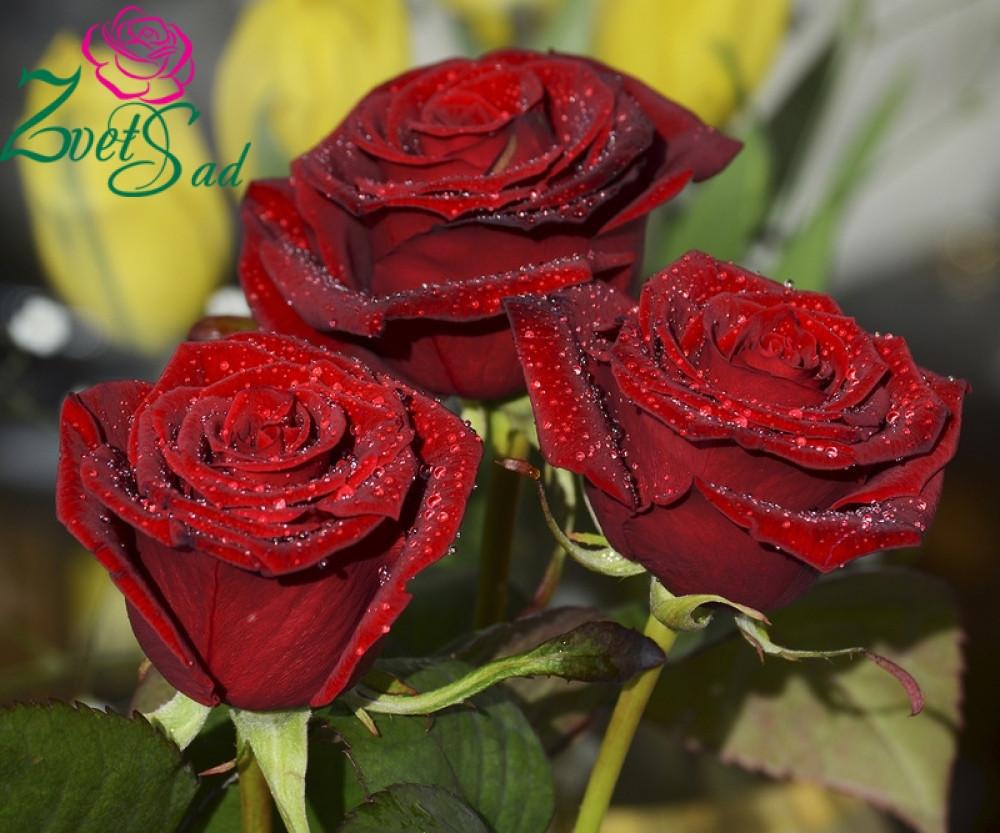 Саженцы роз Фиджа Негро