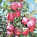 Саженцы яблони Флорина, фото 4
