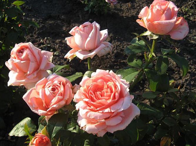 Саженцы роз Нобилис