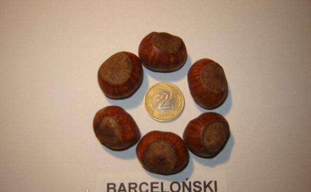 Саженцы фундука Барселонский