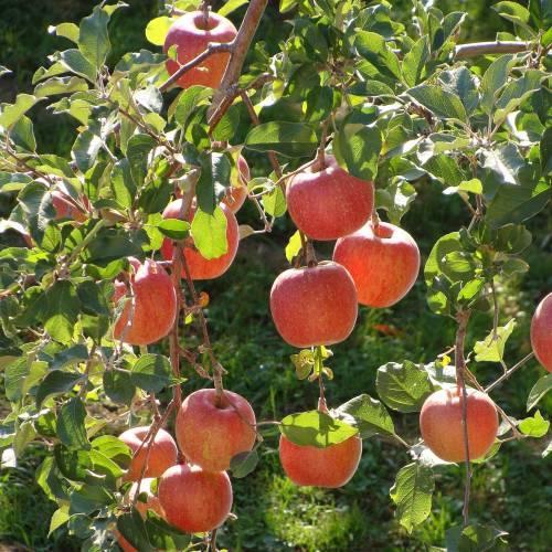 Саженцы яблони Конфетная