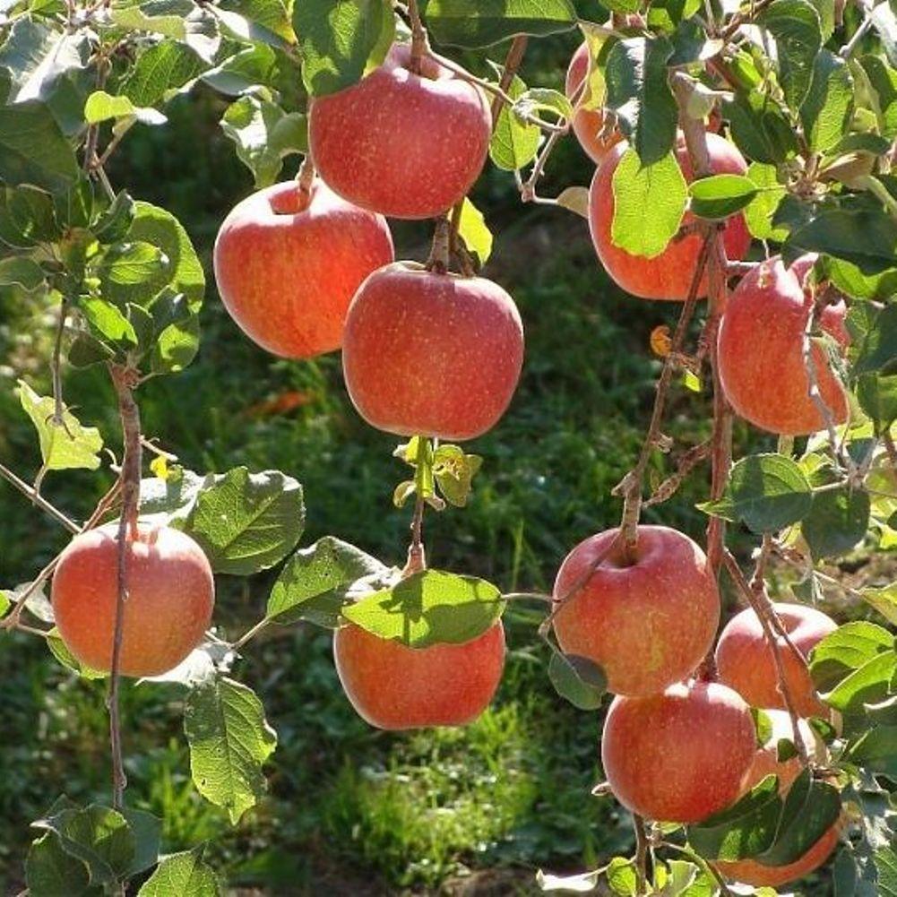 Саженцы яблони Чемпион (двухлетний)