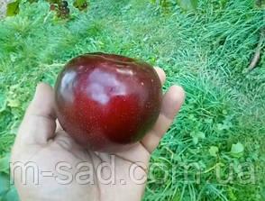 Слива Бербанк Гигант(крупный,скороплодный,урожайный), фото 2