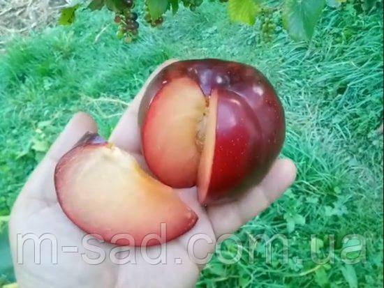 Слива Бербанк Гигант(крупный,скороплодный,урожайный)