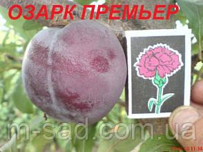Слива Озарк Премьер(средний рост,скороплодный,очень вкусный), фото 2