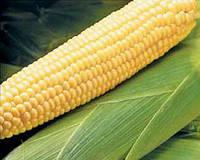 Семена кукурузы Бостон F1 100 000 сем. Сингента (Syngenta)