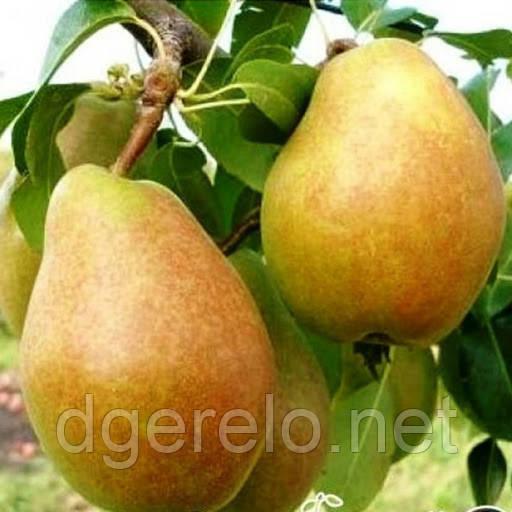 Саджанці зимової груші - сорт Анжеліс Другий сорт