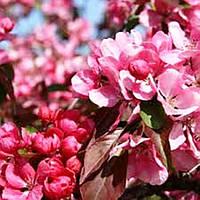 Саженцы Яблони декоративной Маковецкого - Malus purpurea Makowiecki
