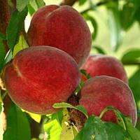 Саженцы Персика Спринг Крест - ранний, урожайный, зимостойкий