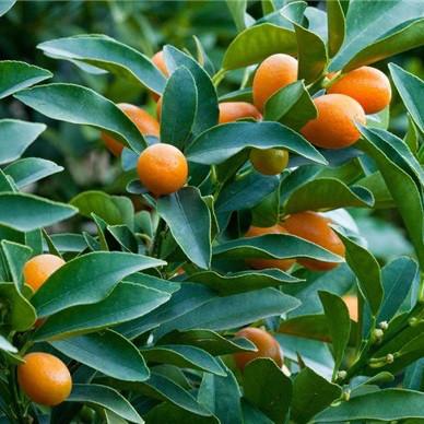 Саженцы кумквата - золотой апельсин