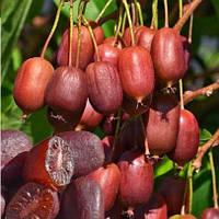 Саженцы актинидии (киви) Скарлет Септембер (Scarlet september) - сладкая, морозостойкая