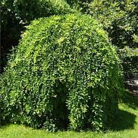 Саженцы Софоры японской плакучей (Sophora japonika pendula)