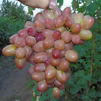Саженцы Винограда Розовая Дымка - раннего срока, морозостойкий, урожайный