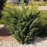 Саженцы Можжевельника китайского Плюмоза (Juniperus chinensis Plumosa)