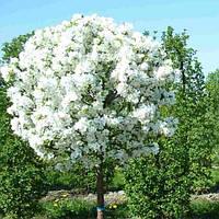 Саженцы Вишни шаровидной «Умбракулифера» (Prunus cerasus umbraculifera)