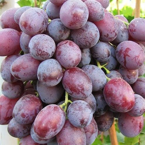Саженцы Винограда столовый Слобожанский - ранне-среднего срока, урожайный, морозостойкий