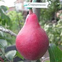 Саженцы Груши Стар Кримсон (2-х летка) - летнего срока, крупноплодная, зимостойкая