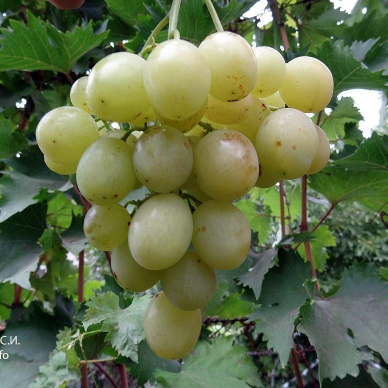 Саженцы Винограда Тянь Шань - среднего срока, крупноплодный, транспортабельный