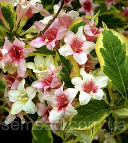 Вейгела цветущая Вариегата Нана ( саженцы 2 года )
