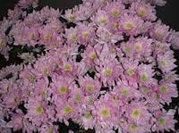 Хризантема катинка (ромашка розовая)