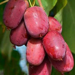 Саженцы Актинидия Пурпурная+Опылитель (лучшая цена купить оптом и в розницу)