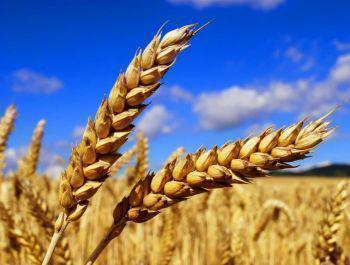 Озима пшениця пшениця Чорнява