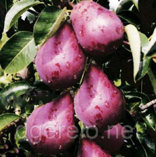 Саджанці груші літньої Кармен. 2 річний