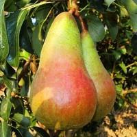 Саджанці груші осінньої Малівчанка