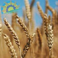 """Семена озимой пшеницы ЛИЛЬ (элита), урожай 2020. Агрофирма """"Сады Украины"""""""