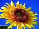 Семена подсолнечника  PR 64F50
